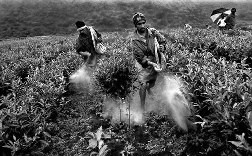 Diserbanti nelle piantagioni del tè-Nuwara Eliya