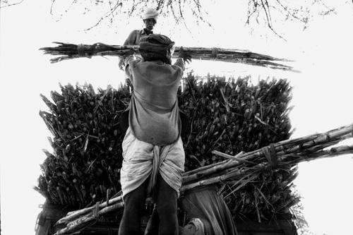 La canna da zucchero-Barwani-Kadarkheda-Maharashtra